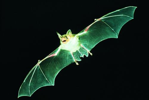 """""""Batnight 2016"""": Auf der Spur der Fledermäuse"""