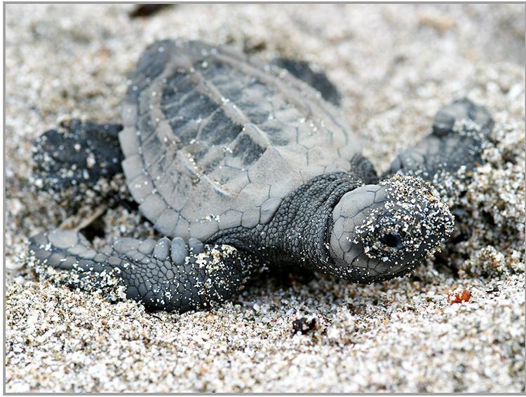 Meeresschildkröten, die Nomaden der Weltmeere